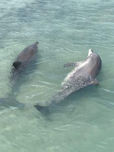 Dolphins at Monkey Mia Camper Trailer Hire Destinations
